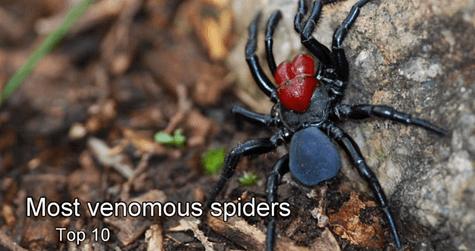10 Most Venomous Spiders